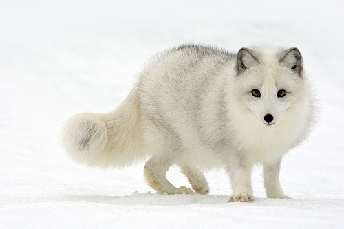 animal, cold, fox, snow, white, winter