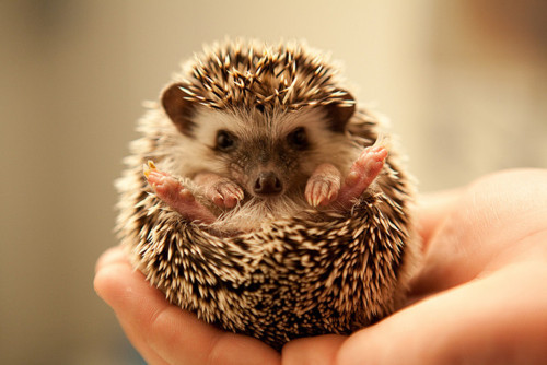 animal, cut, hedgehog