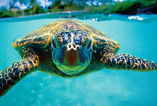 animal, honu, ocean, sea turle, sea turtle