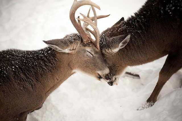 animals, antlers, deer, snow, winter