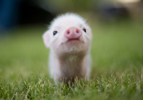 baby, cute, kawaii, pig, piggy