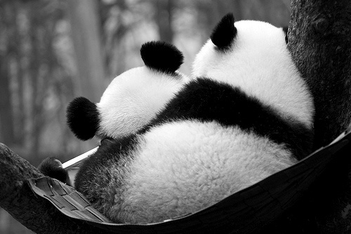 baby panda, black and white, cute, gorgeous, panda