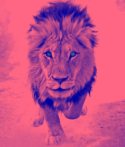 beautiful, lion, pink, running