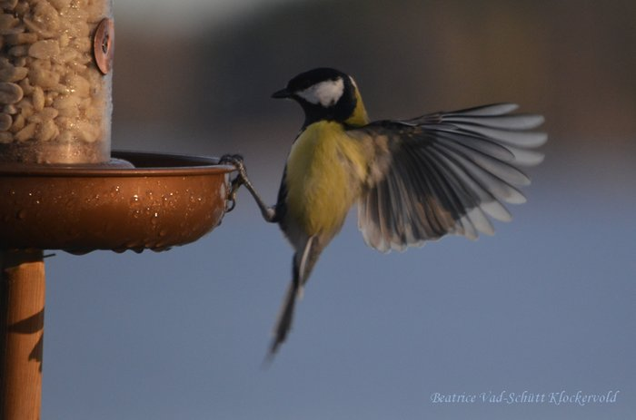 bird, great tit, photography