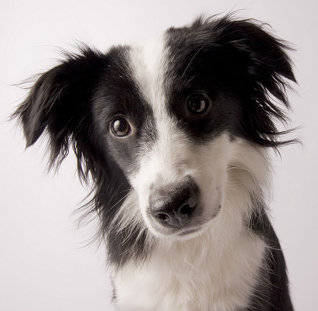 black & white, border collie, collie, dog