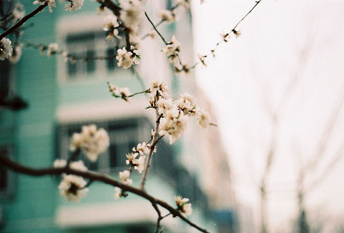 blossoms, branches, cherry blossoms, flowers, pale