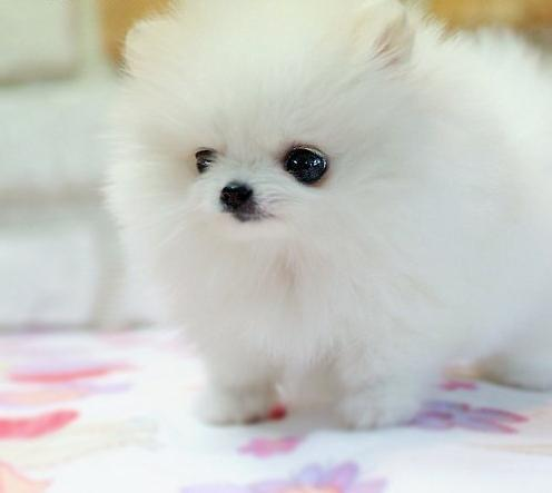 cotton candy, cute, dog, girly, kawaii, pet, pink, sweet