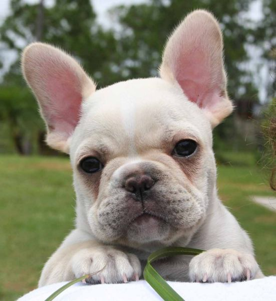 cute, dog, french bulldog, love
