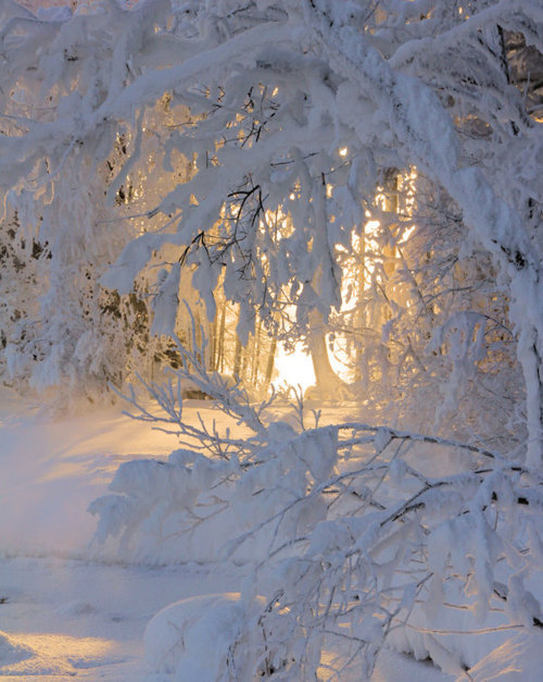 cute, forest, golden, nature, pretty, snow, sunshine, trees, warm, white, winter