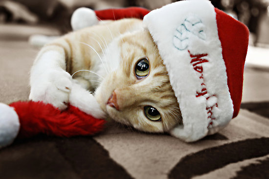 adorable, animal, beautiful, cat, christmas, cute, eyes, friend, ginger, green, hat, kawaii, kitten, lovely, moggy, pet, photo, photography, pretty, red, santa, sweet