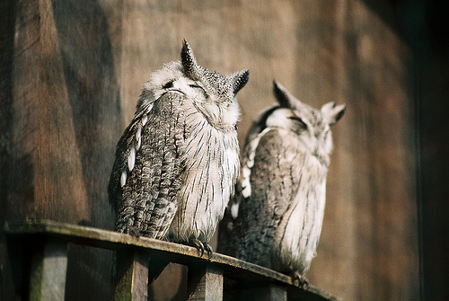 adorable, animal, buho, cute, owl, owls, sleeping