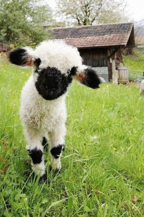 adorable, baby, baby animals, cute, lamp, sheep