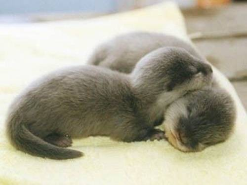 adorable, baby, baby otter, cute, otter