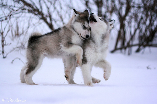 adorable, cute, huskies, husky, puppies, snow, winter