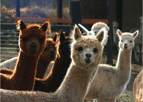 alpaca, alpacas, animal, animals, funny