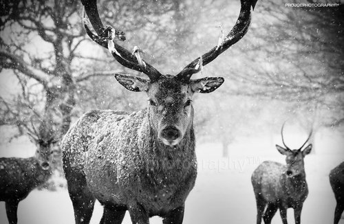 animal, animals, beautiful, black and white, nature, photography, snow, trees, winter, wood