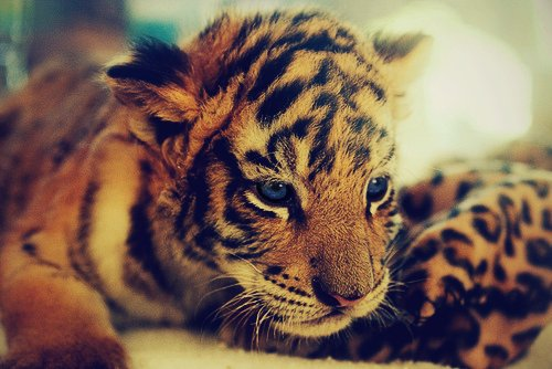 animal, babiilov3, baby, baby tiger, cute