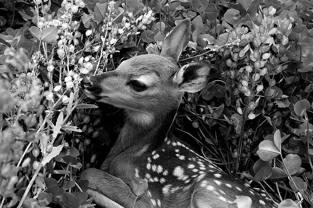 animal, bambi, black and white, deer