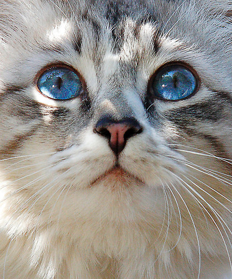 animal, beautiful, blue, camera, cat