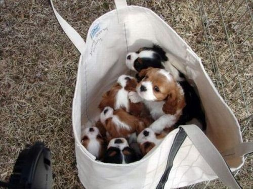 animals, bag, cute, dogs, puppies