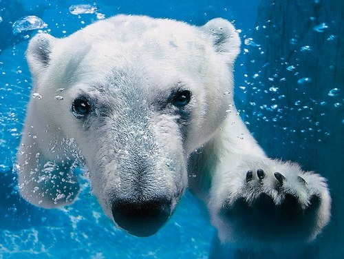 animals, cute, love, nature, polar bear, pretty, underwater, water