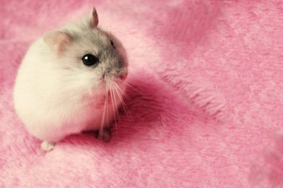animals, hamster, pink, rosa, tiere