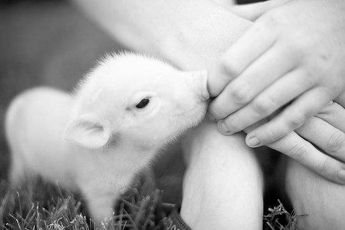 baby, cute, pig, piggy, piglet
