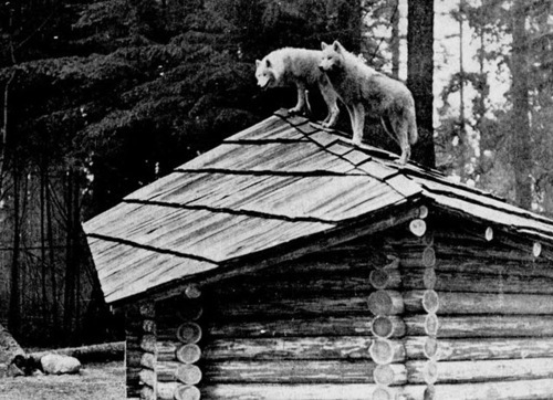 barn, black and white, photo, photography, roof, rooftop, shed, wolf, wolves