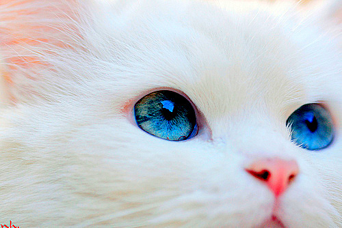 blue eyes  cat  cute  eyes  fur  kitten  pretty  white furCute White Cat Blue Eyes