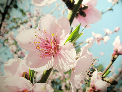 cherry blossom, cute, flowers, kawaii, nature