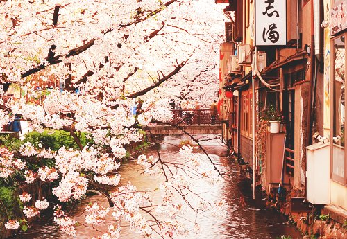 adorable, beautiful, blossom, china, chinese, cute, flowers, nature, photography, pink, pretty, street, tree, trees, vintage