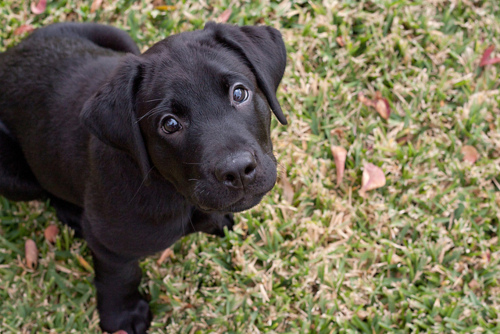 adorable, black lab, cute, dog, dogs, puppies, puppy