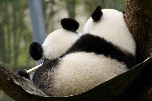 animal, animals, bear, cute, panda