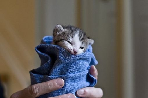 animal, animals, blanket, blue, cat