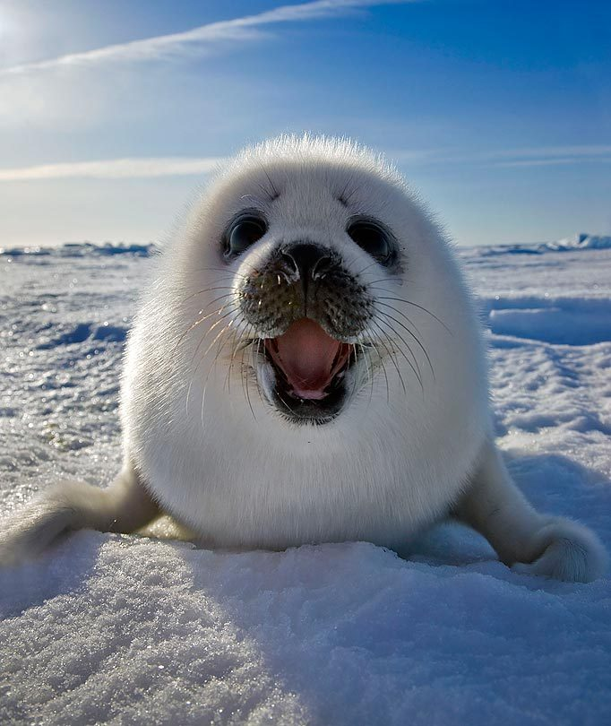 animal, artic, beautiful, cute, nature
