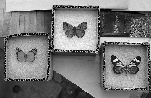 animal, b&w, black & white, black and white, butterflies