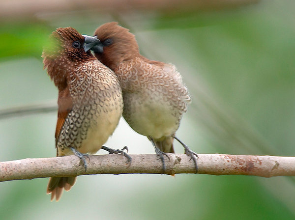 animal, bird, couple, cute, kiss, love