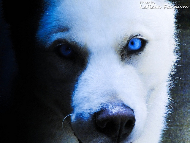 animal, blue, cute, dog, husky