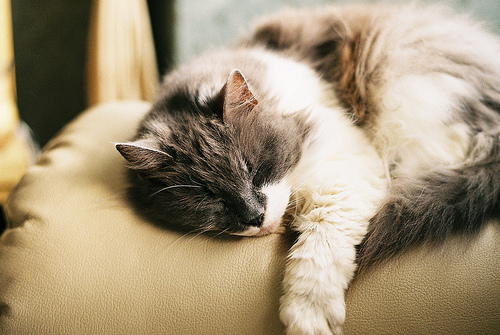 animal, cat, cute, kit, kitten, ophidiophobic, sleep, sleepy