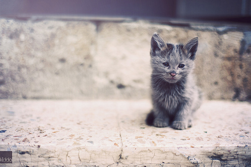 animal, cat, cute, kitten, kitty
