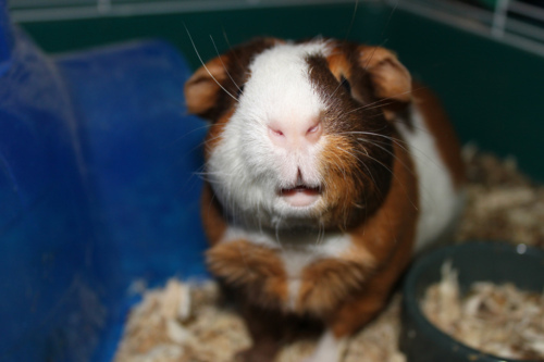 animal, cute, guinea pig, photography, pig