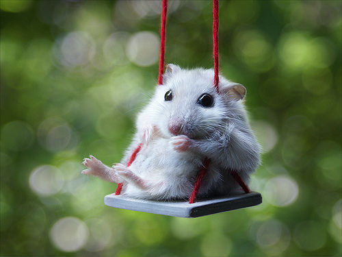 animal, cute, hamster, love, soricel
