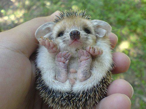 animal, cute, hedgehog