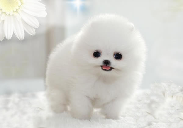 animals, beautiful, cute, dog, pomeranian