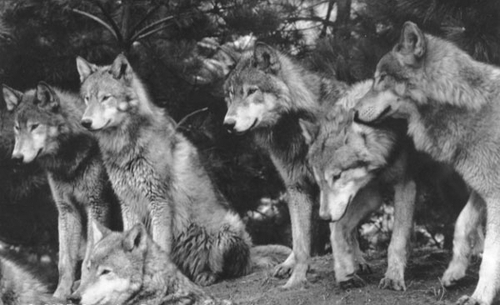 animals, black and white, wolf, wolf pack, wolves