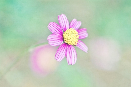 art, cute, dream, flower, happy, joy, light, pastel, petals, photography, purple, soft, sweet