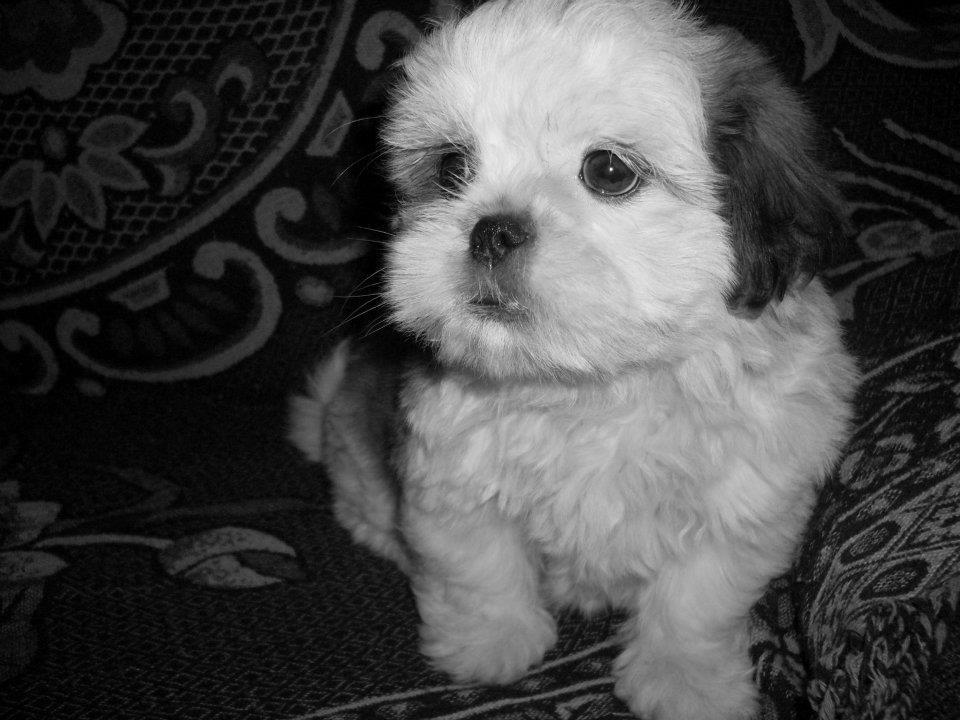 baby, black and white, cute, dog, shih tzu
