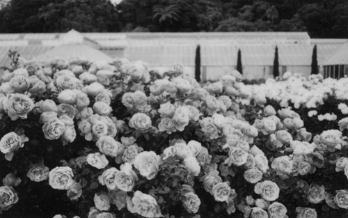 b&w, beautiful, black, black & white, black and white, cute, flower, flowers, garden, grey, landscape, nature, photo, photography, place, roses, text, white