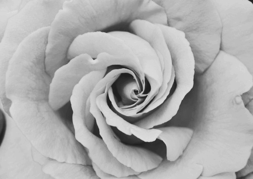 b&w, black, black & white, black and white, cute, flower, grey, photo, photography, rose, text, white, white black rose