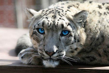beautiful, blue, blue eyes, bright eyes, photography, snow leopard